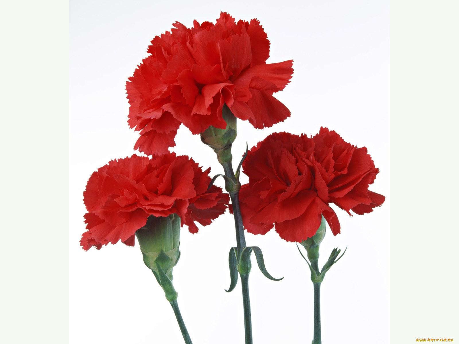 кандидатур, цветы для открыток гвоздики можно